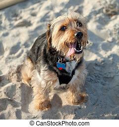 Borkie Dog at the Beach