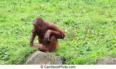 bornean, weibliche, orang utan