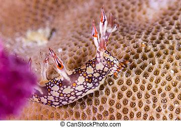 Bornella anguilla, Nudibranch, Sea Slug on the coral reef