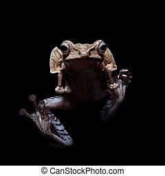 Borneo eared frog on black background - Borneo eared frog,...