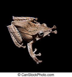 Borneo eared frog on black background - Borneo eared frog,...