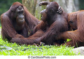 Borneo Orangutan - Orangutan in the jungle in Borneo, ...