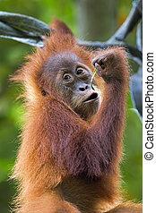 Borneo Orangutan - Orangutan in the jungle of Borneo, ...