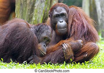 Borneo Orangutan - Orangutan in the jungle in Borneo,...