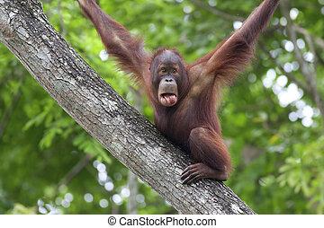 Borneo Orangutan - Orangutan making funny face in the jungle...