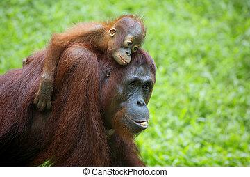 Borneo Orangutan - Orangutan in the jungle of Borneo,...