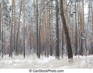 borovice, jíní, les, pokrytý