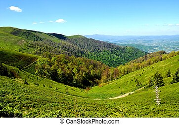 Borzhava, Volovets'kyi district, Zakarpatska Oblast, Ukraine.05/09/2018. Green slopes of the Carpathian Mountains, Fir trees on background of Blue sky white cloudes, mountain landscape in May