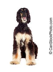 Borzoi breed dog isolated on white background