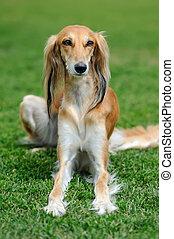 Borzoi dog in grass - Close brown Borzoi dog in green summer...