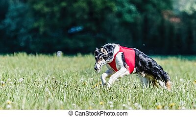Borzoi dog in red shirt running in the field on lure coursing competition