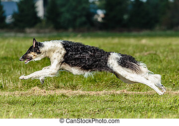 Russian Hunting Sighthound running in the field on lure coursing competition