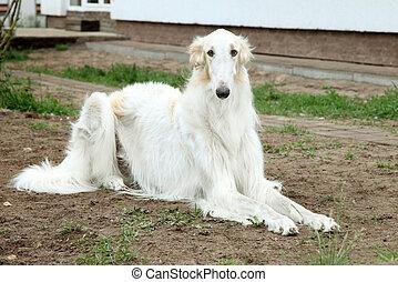 Borzoi (greyhound) dog - Russian borzoi, greyhound dog....