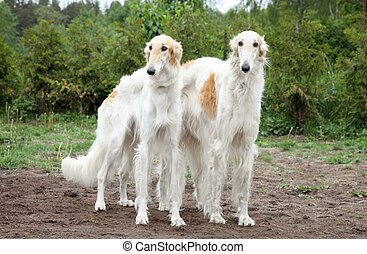 Borzoi hounds - Pair of borzoi hounds on the background of...