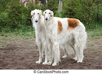 Borzoi hounds - Pair of borzoi hounds posing on the...