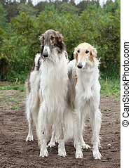 Borzoi hounds - Pair of borzoi hounds stands on the...
