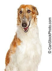 Borzoi the Russian Wolfhound on white background