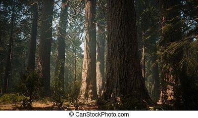 bos, reus, californië, sequoia, park, ondergaande zon , ...