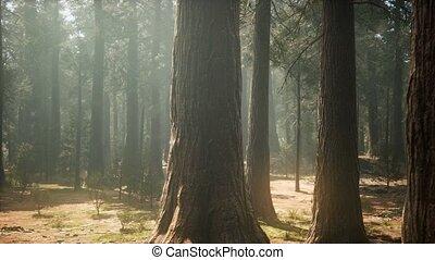 bos, sequoia, park, reus, nationale, ondergaande zon , ...