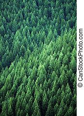 bos, van, pijnboom bomen
