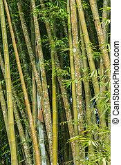 boschetto, grande, foresta bambù, fresco