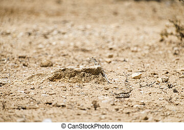 Boscs fringe-toed lizard in the Negev desert climbed out...