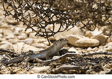Boscs fringe-toed lizard sits under a bush in the Negev...