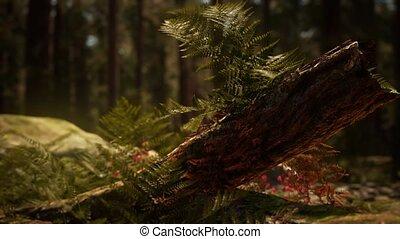 bosje, zonlicht, morgen, mariposa, sequoias, vroeg