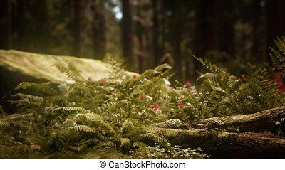 bosje, zonlicht, morgen, sequoias, mariposa, vroeg