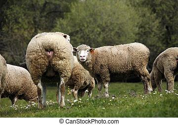 boskap, lantgård, -, fårs skock