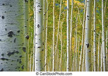 bosque álamo temblón