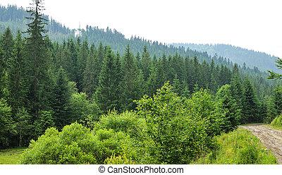 bosque, con, árboles de abeto