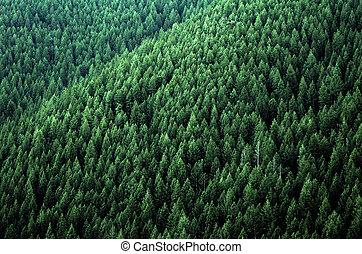 bosque, de, árboles de pino