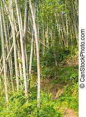 bosque de bambú, verde, arboleda de bambú, en, mañana, luz del sol, sulawesi, indonesia.