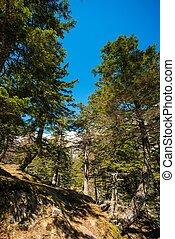 bosque de pino, contra, cielo azul