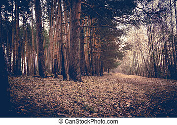 bosque de pino, primavera, mañana, retro
