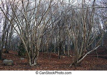 Bosque en invierno, árboles sin hojas en las montañas del Montseny