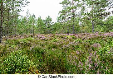 bosque, parque, aviemore, cairngorms, escocia, púrpura, coylumbridge, nacional, inverdruie, brezo