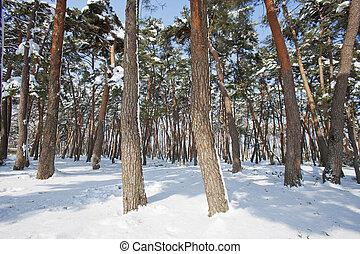 bosque, pino, nevoso