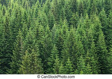 bosque, plano de fondo, árboles de abeto