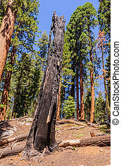 bosque, sequoia, gigante, sherman