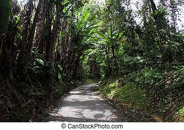 bosque tropical, camino