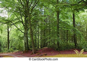 bosque verde, y, camino, en, el, tierras altas, escocia