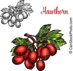 bosquejo, espino, maduro, fruta, baya, rama, rojo
