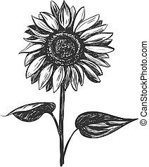 bosquejo, vector, illustration., girasol