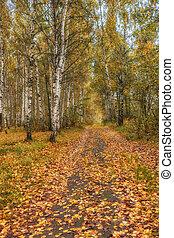 bosquet, automne, day., ensoleillé, bouleau