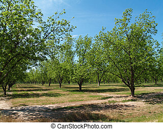 bosquet, géorgie, pecan, sud, mûrir