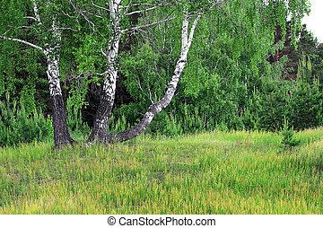 bosquet, printemps, bouleau