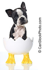 boston, chiot, terrier