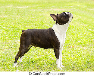 Boston terrier - A small, young, beautiful, black and white...